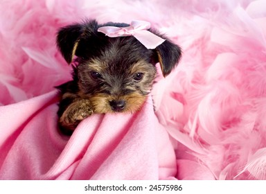 Yorkshire Terrier Puppy chewing on pink blanket with pink bow and feather boa, cute, copy space