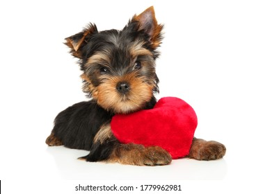 Yorkshire Terrier puppy dog with a red plush toy in the shape of a heart lies on a white background