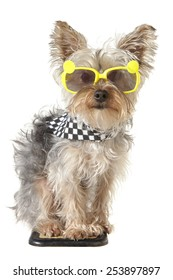 Yorkshire Terrier puppy dog wearing bandana and tiny sunglasses, isolated on white background