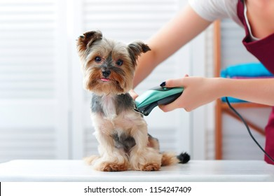 Yorkshire terrier puppy getting haircut with a shaving machine