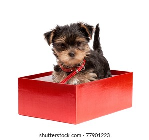 Yorkshire Terrier puppy isolated over white background