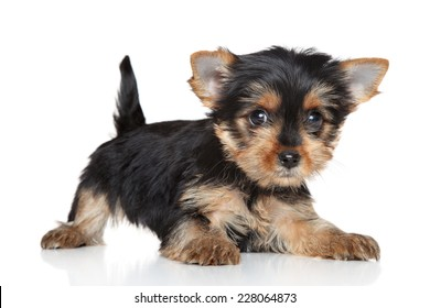 Yorkshire Terrier puppy lying on white background