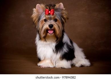 Yorkshire terrier puppy on background