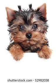 Yorkshire Terrier puppy on a white background
