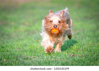 Yorkshire Terrier Puppy Playing Fetch in a Dog Park Using a Generic Orange Ball