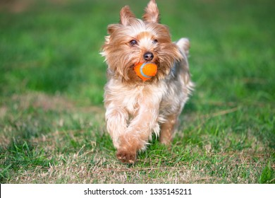 Yorkshire Terrier Puppy Playing Fetch in a Dog Park With a Generic Orange Ball