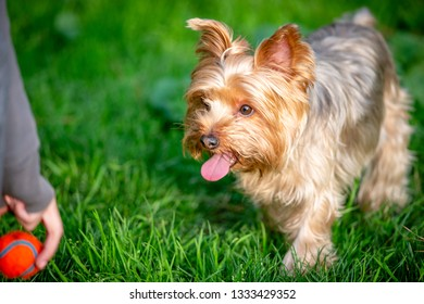Yorkshire Terrier Puppy Playing with Orange Ball at a Dog Park