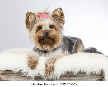 Yorkshire terrier puppy portrait. The dog is laying on a wooden antique box. Image taken in a studio.