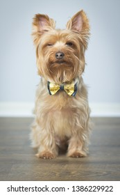 Yorkshire Terrier Puppy Posing for Portrait