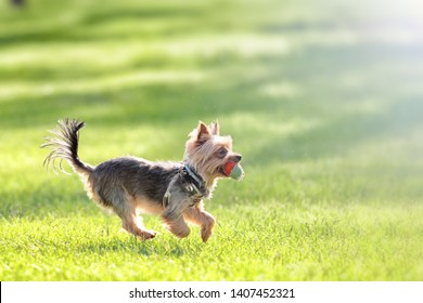 yorkshire terrier puppy running with ball across grass park lawn blurred background closeup side landscape view of cute yorkie dog animal authentic lifestyle activity young pet life concept