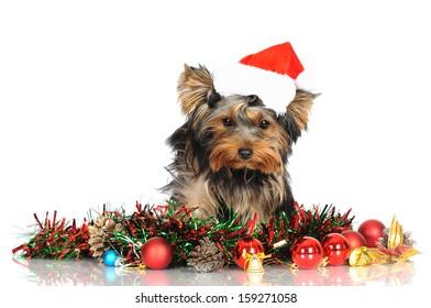 yorkshire terrier puppy in a santa hat