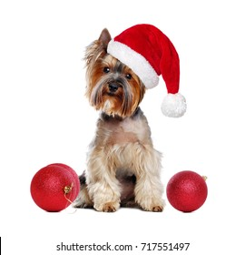 Yorkshire Terrier puppy in a Santa hat sitting with christmas toys on white background