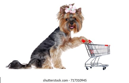 Yorkshire Terrier puppy with a shopping trolley on white background looking into the camera