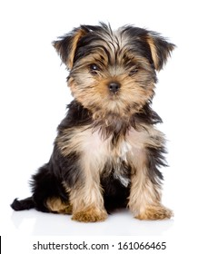 Yorkshire Terrier puppy sitting in front. isolated on white background