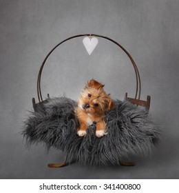 Yorkshire terrier puppy sitting on a grey fluffy cushion with her head tilting to the right. A paper heart hangs above her head. Grey textured backdrop added. Dogs eyes sharp with soft focus on fluff.
