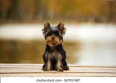 Yorkshire terrier puppy sitting on a bridge in the autumn background