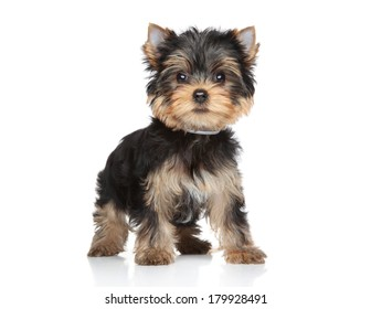 Yorkshire terrier puppy stand on a white background