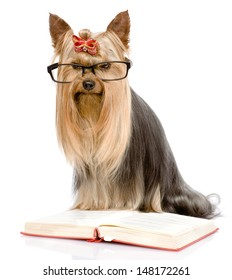 Yorkshire Terrier read book. isolated on white background