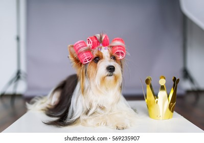 Yorkshire terrier with a red bow and a gold crown