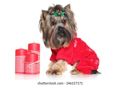 Yorkshire Terrier with red Christmas candles in fashion dog clothes posing on white background