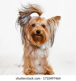 Yorkshire terrier with regrown hair on a light wooden background poses before grooming. Cute and funny doggie.