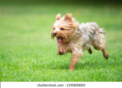 Yorkshire Terrier Running on a Grass Field