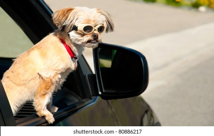 A Yorkshire Terrier (Shitzu Yorkie breed) puppy dog looks sternly at a dumb driver.