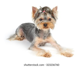 Yorkshire Terrier with short hair lies on white background