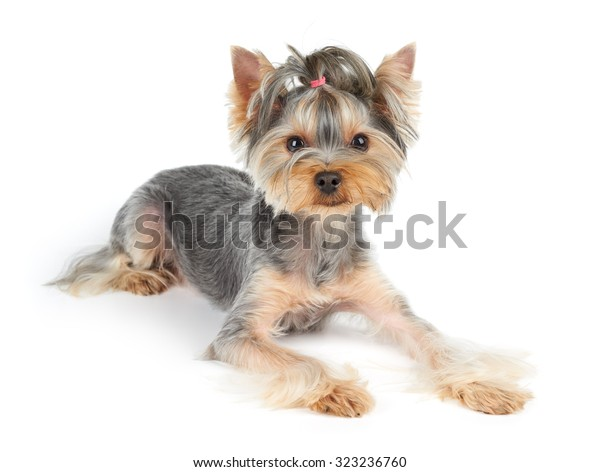 Yorkshire Terrier Short Hair Lies On Stock Photo Edit Now 323236760
