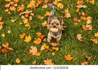Yorkshire terrier with short hair running through autumn park.Dog is symbol of New 2018 year, according to Chinese calendar.Pet, dog, loyal friend of man. Walking in autumn park.