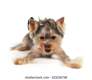 Yorkshire Terrier with short haircut licks. It looks down on on the point where your product can be placed.