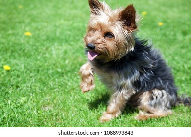 Yorkshire terrier sit on green grass and give a paw