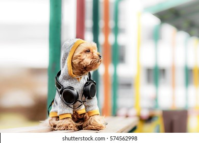 Yorkshire terrier sitting and listening music on the street . Dog in windcheater and jacket Hoodie whith headphones,