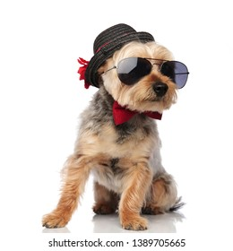 Yorkshire Terrier sitting and looking sideways while wearing sunglasses, bow tie and a decorated hat on white studio background