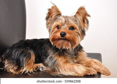 Yorkshire Terrier sitting on a Chair