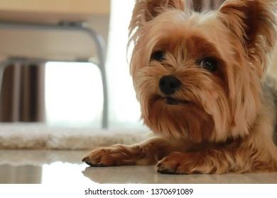 Yorkshire terrier is sitting and waiting for owner with sad face in the sweet home
