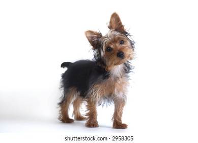 Yorkshire Terrier standing against white background