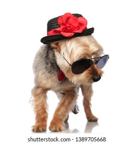 Yorkshire Terrier standing and looking sideways while wearing bow tie, sunglasses and a decorated hat on white studio background