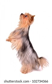 Yorkshire Terrier standing on hind legs, isolated on white