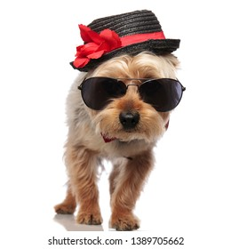 Yorkshire Terrier standing while wearing sunglasses, a red bow tie and a decorated hat on white studio background
