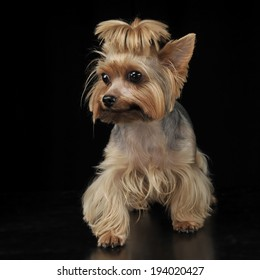Yorkshire Terrier staying in the dark studio