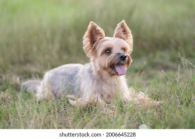 yorkshire terrier staying field yorkie