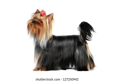 Yorkshire terrier in studio on a white background
