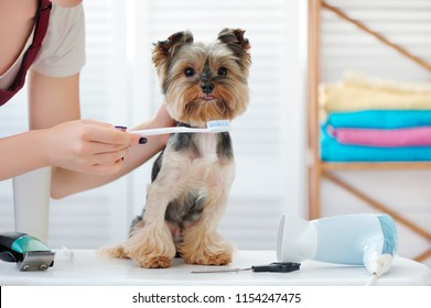 Yorkshire terrier at the teeth cleaning procedure