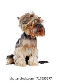 Yorkshire Terrier with tousled hair isolated over white background