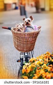 Yorkshire terrier two puppies sitting in a wicker basket bike