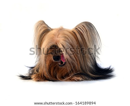 Yorkshire Terrier Very Long Hair Isolated Stock Photo Edit Now