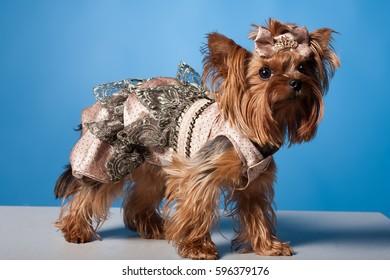 Yorkshire Terrier in Vest