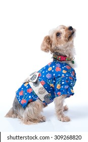 A Yorkshire Terrier wearing a blue Japanese Yukata.
