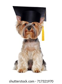 Yorkshire Terrier wearing mortar board isolated on white